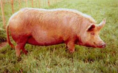 Tamworth_Pig2.jpg