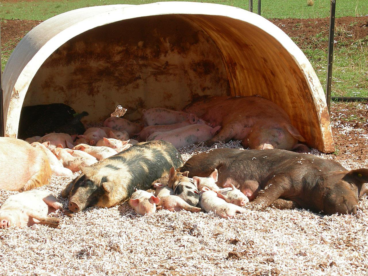sows and piglets.JPG