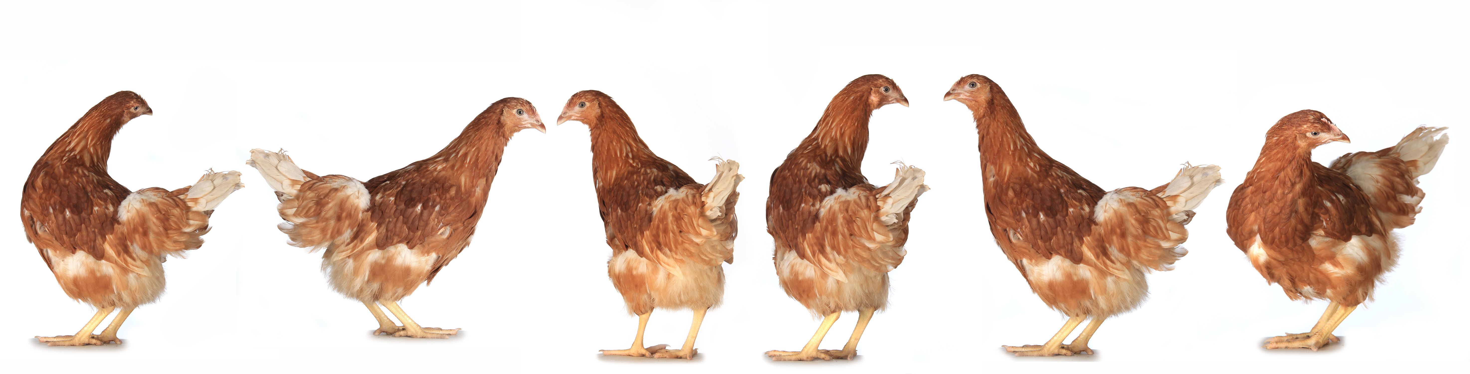 How much do PASTURED free range eggs cost